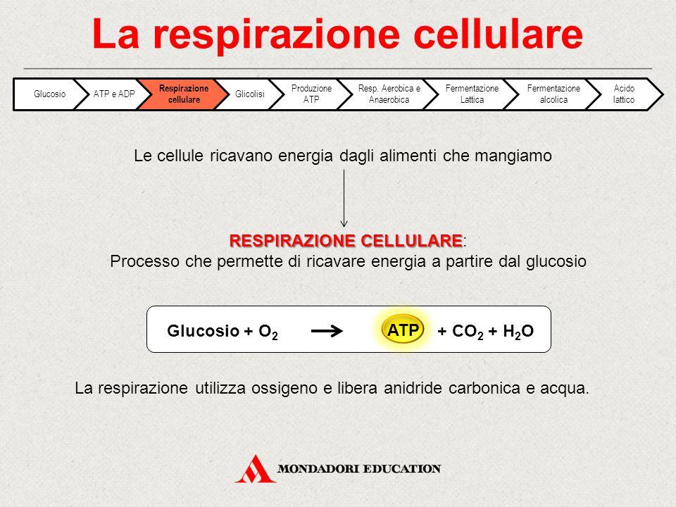 Fasi della respirazione cellulare: La respirazione cellulare Una molecola di glucosio viene scissa in due molecole di acido piruvico Produzione di Acetil CoA a partire dall'acido piruvico Nei mitocondri l'acetil CoA viene ossidato, liberando CO 2 e ioni H + che si legano al coenzima NAD + formando NADH.