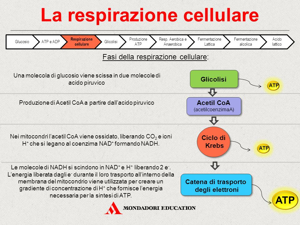 Fasi della respirazione cellulare: La respirazione cellulare Una molecola di glucosio viene scissa in due molecole di acido piruvico Produzione di Ace