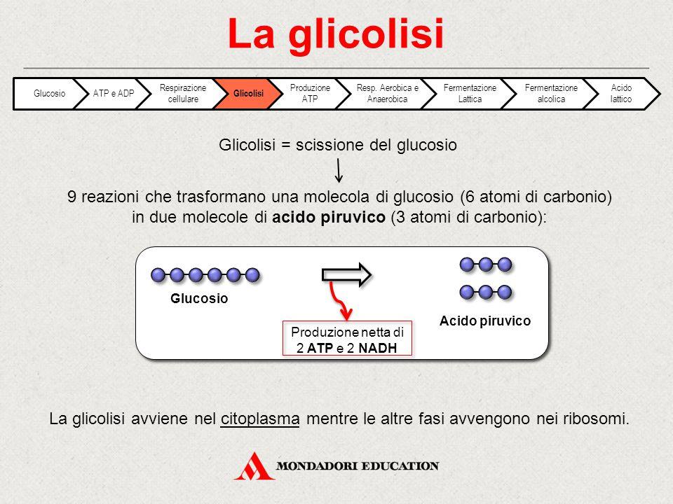 La glicolisi Glicolisi = scissione del glucosio 9 reazioni che trasformano una molecola di glucosio (6 atomi di carbonio) in due molecole di acido pir