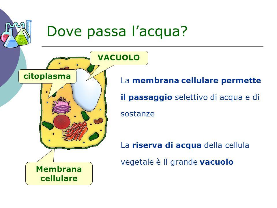 Dove passa l'acqua? La membrana cellulare permette il passaggio selettivo di acqua e di sostanze Membrana cellulare citoplasma VACUOLO La riserva di a