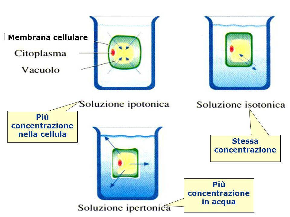 Osmosi Più concentrazione nella cellula Stessa concentrazione Più concentrazione in acqua Membrana cellulare