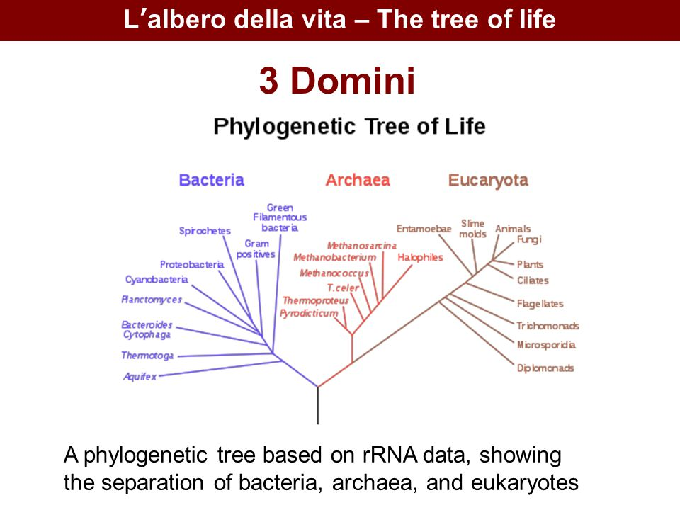 L'albero della vita – The tree of life 3 Domini A phylogenetic tree based on rRNA data, showing the separation of bacteria, archaea, and eukaryotes