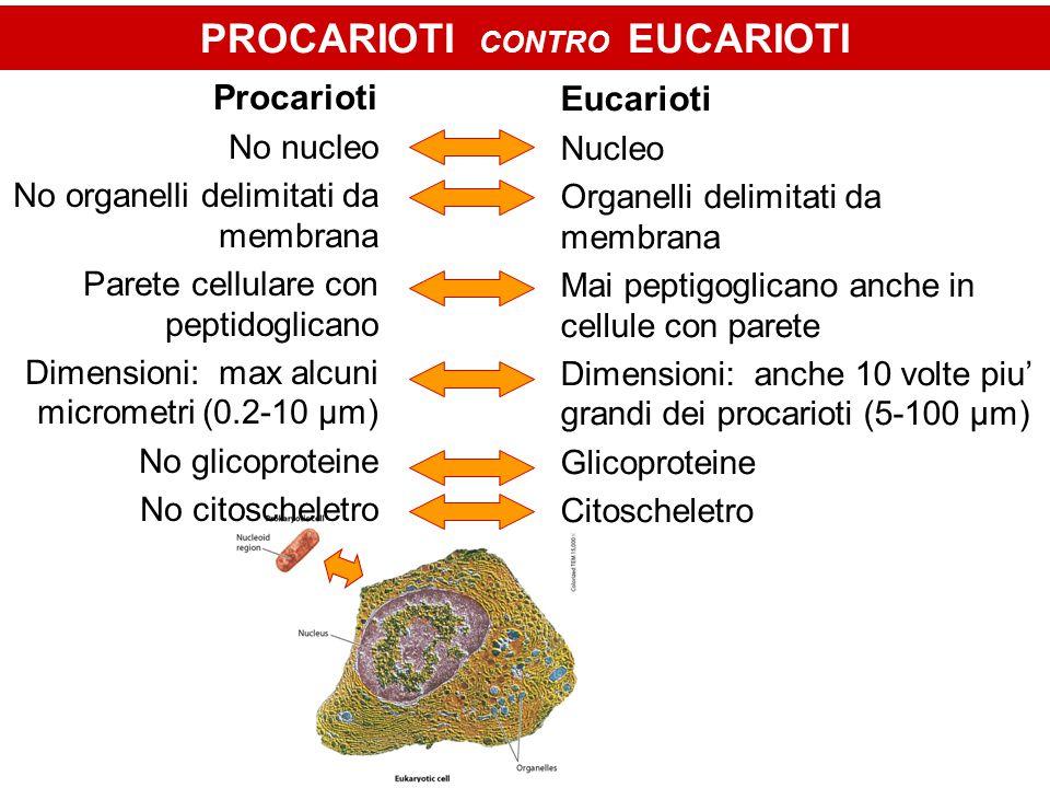 PROCARIOTI CONTRO EUCARIOTI Procarioti No nucleo No organelli delimitati da membrana Parete cellulare con peptidoglicano Dimensioni: max alcuni micrometri (0.2-10 μm) No glicoproteine No citoscheletro Eucarioti Nucleo Organelli delimitati da membrana Mai peptigoglicano anche in cellule con parete Dimensioni: anche 10 volte piu' grandi dei procarioti (5-100 μm) Glicoproteine Citoscheletro