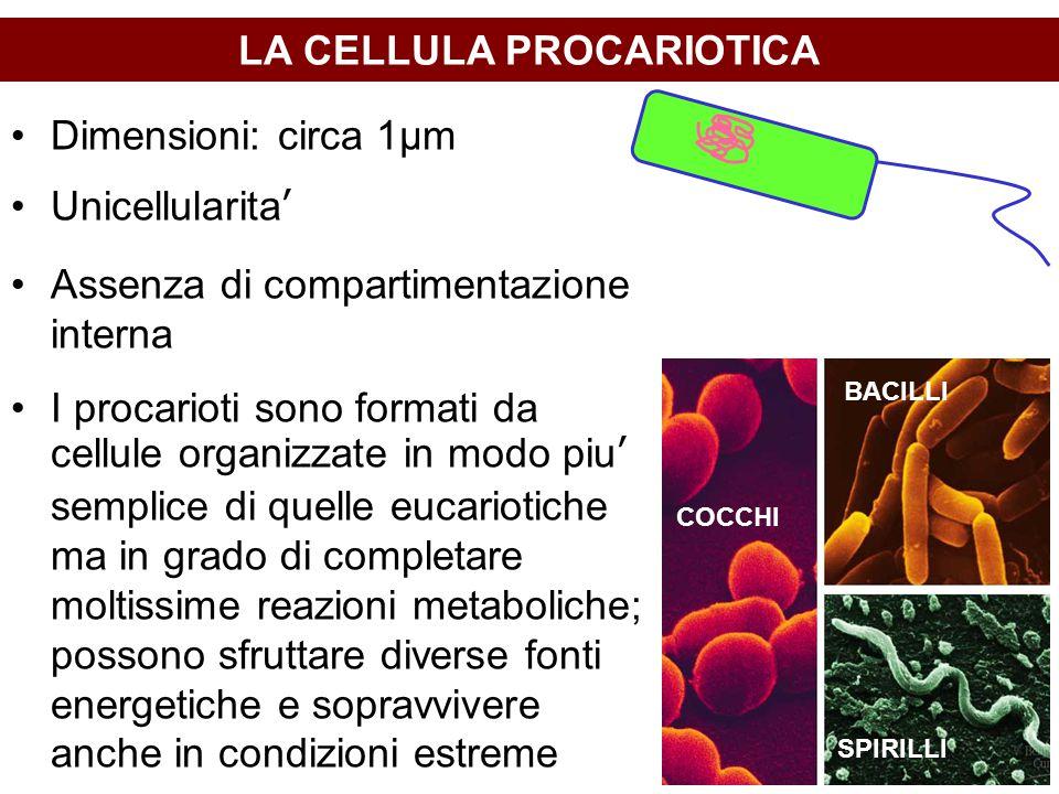 LA CELLULA PROCARIOTICA Dimensioni: circa 1μm Unicellularita' Assenza di compartimentazione interna I procarioti sono formati da cellule organizzate in modo piu' semplice di quelle eucariotiche ma in grado di completare moltissime reazioni metaboliche; possono sfruttare diverse fonti energetiche e sopravvivere anche in condizioni estreme COCCHI BACILLI SPIRILLI