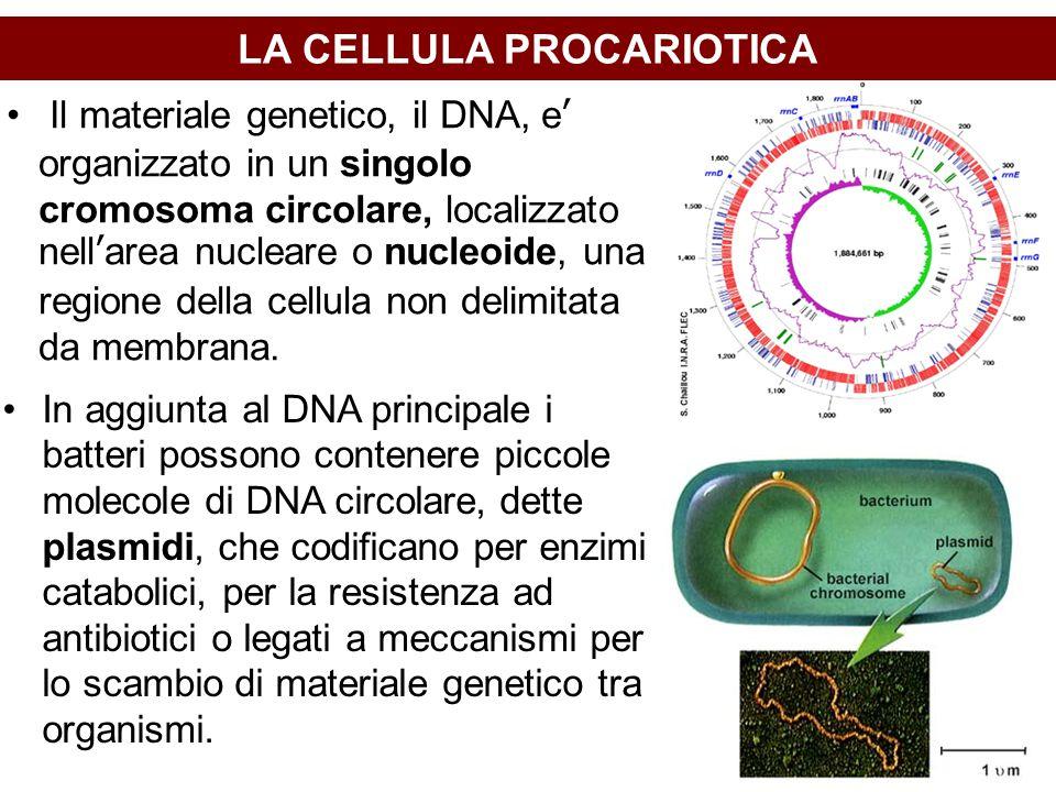 LA CELLULA PROCARIOTICA In aggiunta al DNA principale i batteri possono contenere piccole molecole di DNA circolare, dette plasmidi, che codificano per enzimi catabolici, per la resistenza ad antibiotici o legati a meccanismi per lo scambio di materiale genetico tra organismi.
