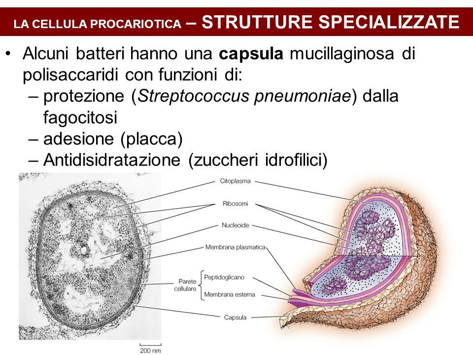 LA CELLULA PROCARIOTICA – STRUTTURE SPECIALIZZATE Alcuni batteri hanno una capsula mucillaginosa di polisaccaridi con funzioni di: –protezione (Streptococcus pneumoniae) dalla fagocitosi –adesione (placca) –Antidisidratazione (zuccheri idrofilici)