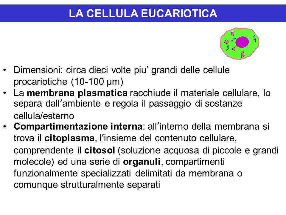 LA CELLULA EUCARIOTICA Dimensioni: circa dieci volte piu' grandi delle cellule procariotiche (10-100 μm) La membrana plasmatica racchiude il materiale cellulare, lo separa dall'ambiente e regola il passaggio di sostanze cellula/esterno Compartimentazione interna: all'interno della membrana si trova il citoplasma, l'insieme del contenuto cellulare, comprendente il citosol (soluzione acquosa di piccole e grandi molecole) ed una serie di organuli, compartimenti funzionalmente specializzati delimitati da membrana o comunque strutturalmente separati