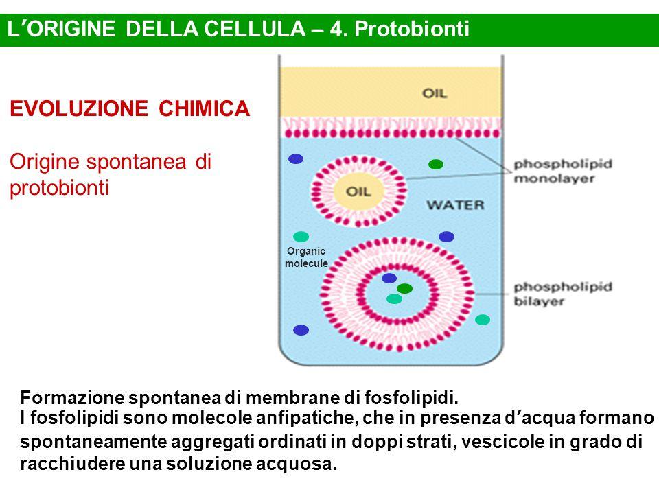 Formazione spontanea di membrane di fosfolipidi.