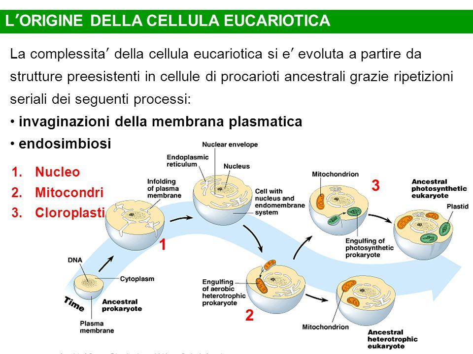 L'ORIGINE DELLA CELLULA EUCARIOTICA La complessita' della cellula eucariotica si e' evoluta a partire da strutture preesistenti in cellule di procarioti ancestrali grazie ripetizioni seriali dei seguenti processi: invaginazioni della membrana plasmatica endosimbiosi 1.Nucleo 2.Mitocondri 3.Cloroplasti 1 2 3