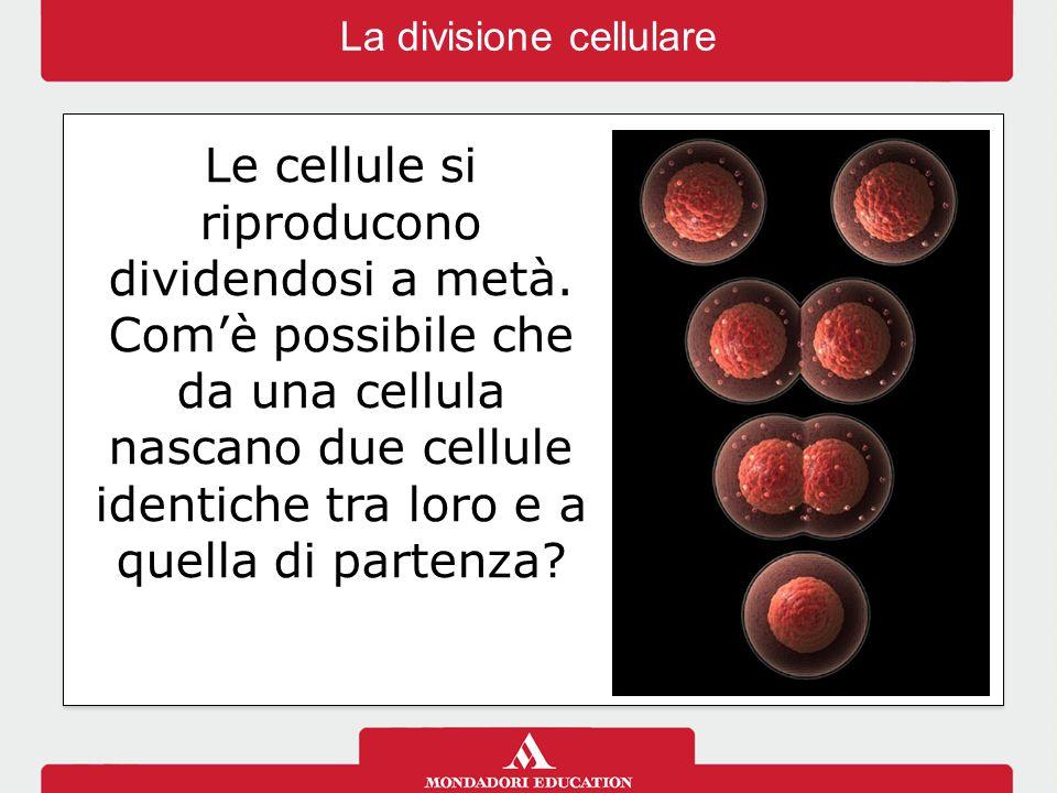 Le cellule si riproducono dividendosi a metà.