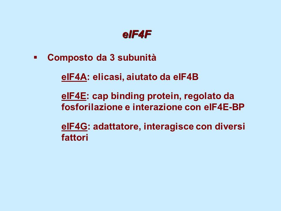 eIF4F eIF4F  Composto da 3 subunità eIF4A: elicasi, aiutato da eIF4B eIF4E: cap binding protein, regolato da fosforilazione e interazione con eIF4E-B