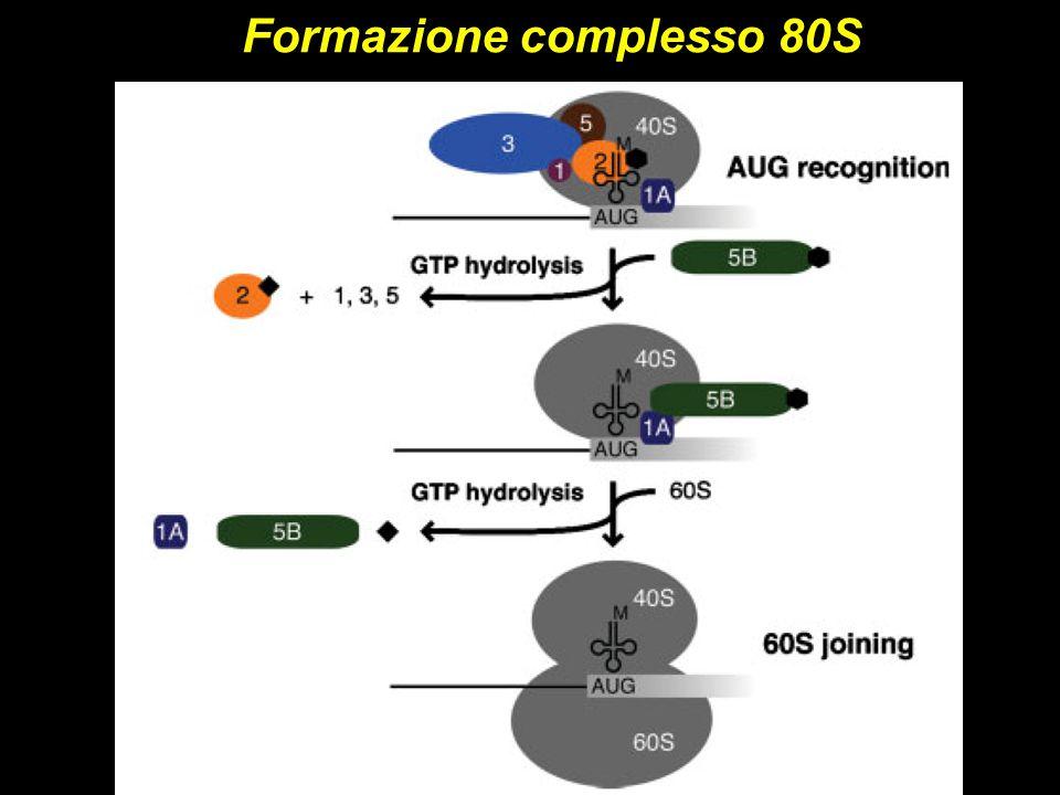 Formazione complesso 80S