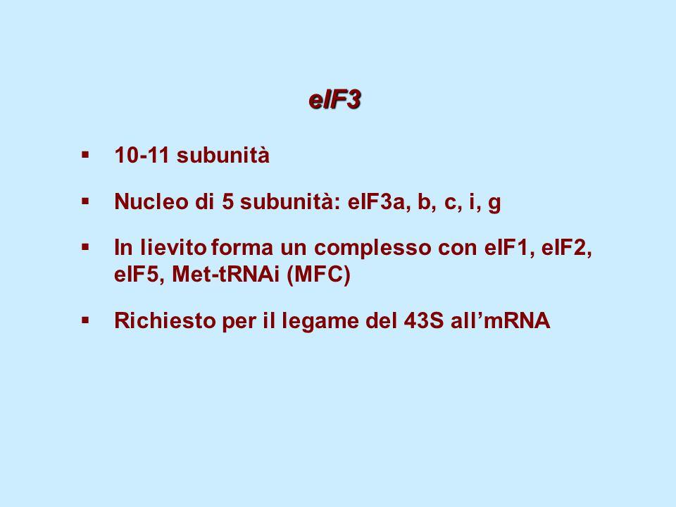 eIF3 eIF3  10-11 subunità  Nucleo di 5 subunità: eIF3a, b, c, i, g  In lievito forma un complesso con eIF1, eIF2, eIF5, Met-tRNAi (MFC)  Richiesto