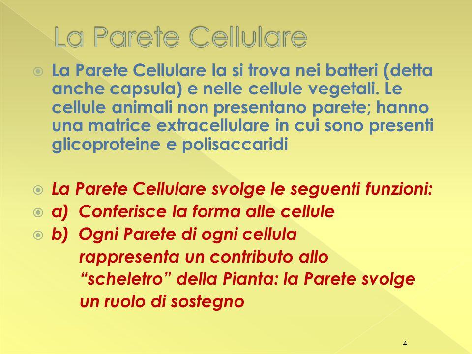  La Parete Cellulare la si trova nei batteri (detta anche capsula) e nelle cellule vegetali.