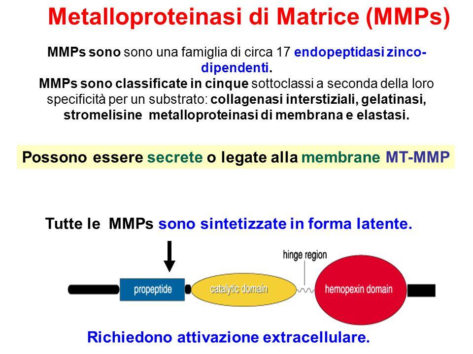 MMPs sono sono una famiglia di circa 17 endopeptidasi zinco- dipendenti.