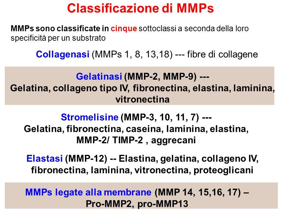 Collagenasi (MMPs 1, 8, 13,18) --- fibre di collagene Gelatinasi (MMP-2, MMP-9) --- Gelatina, collageno tipo IV, fibronectina, elastina, laminina, vitronectina Stromelisine (MMP-3, 10, 11, 7) --- Gelatina, fibronectina, caseina, laminina, elastina, MMP-2/ TIMP-2, aggrecani Elastasi (MMP-12) -- Elastina, gelatina, collageno IV, fibronectina, laminina, vitronectina, proteoglicani MMPs legate alla membrane (MMP 14, 15,16, 17) – Pro-MMP2, pro-MMP13 MMPs sono classificate in cinque sottoclassi a seconda della loro specificità per un substrato Classificazione di MMPs