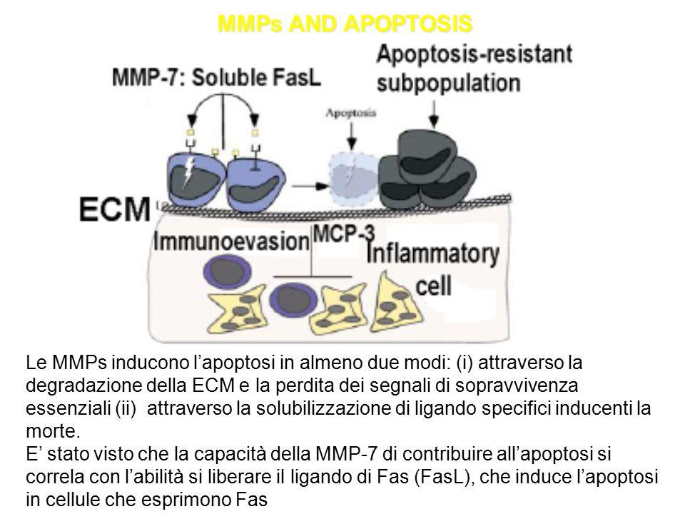 MMPs AND APOPTOSIS Le MMPs inducono l'apoptosi in almeno due modi: (i) attraverso la degradazione della ECM e la perdita dei segnali di sopravvivenza essenziali (ii) attraverso la solubilizzazione di ligando specifici inducenti la morte.