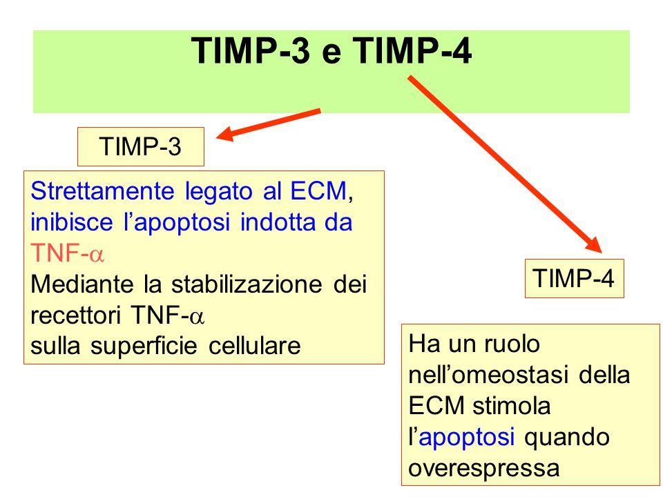 TIMP-3 e TIMP-4 Strettamente legato al ECM, inibisce l'apoptosi indotta da TNF-  Mediante la stabilizazione dei recettori TNF-  sulla superficie cellulare TIMP-3 TIMP-4 Ha un ruolo nell'omeostasi della ECM stimola l'apoptosi quando overespressa