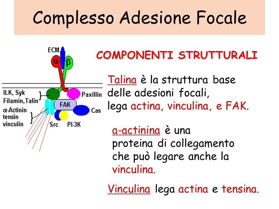 Talina è la struttura base delle adesioni focali, lega actina, vinculina, e FAK.