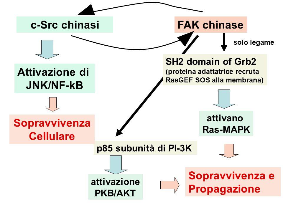 SH2 domain of Grb2 (proteina adattatrice recruta RasGEF SOS alla membrana) c-Src chinasiFAK chinase attivano Ras-MAPK solo legame Attivazione di JNK/NF-kB p85 subunità di PI-3K attivazione PKB/AKT Sopravvivenza Cellulare Sopravvivenza e Propagazione