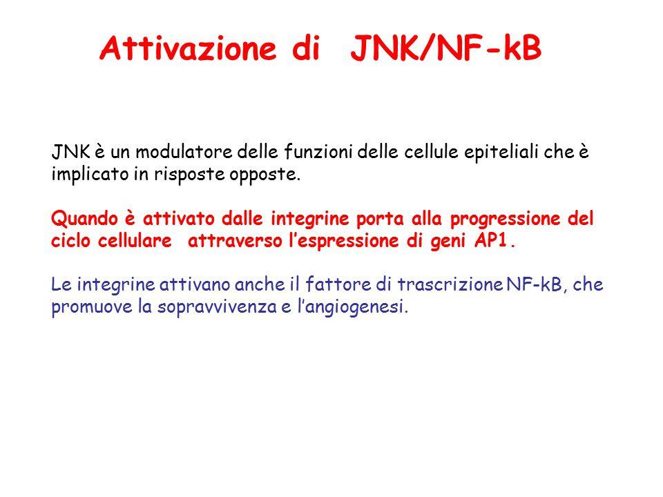 JNK è un modulatore delle funzioni delle cellule epiteliali che è implicato in risposte opposte.