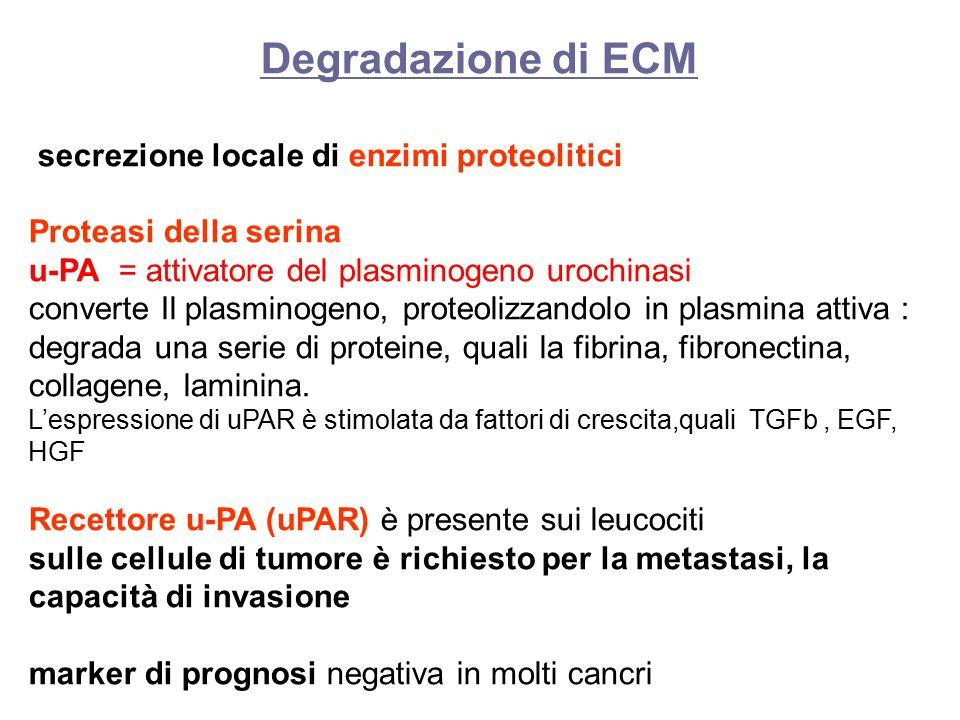 Degradazione di ECM secrezione locale di enzimi proteolitici Proteasi della serina u-PA = attivatore del plasminogeno urochinasi converte Il plasminogeno, proteolizzandolo in plasmina attiva : degrada una serie di proteine, quali la fibrina, fibronectina, collagene, laminina.