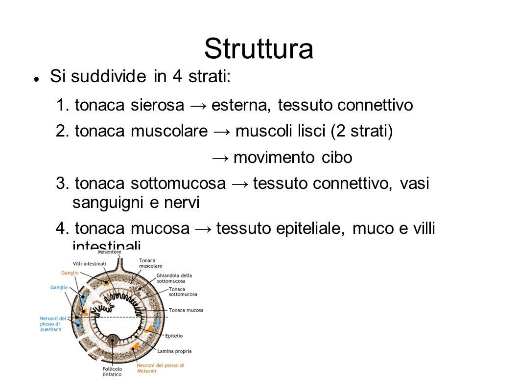 Struttura Si suddivide in 4 strati: 1. tonaca sierosa → esterna, tessuto connettivo 2. tonaca muscolare → muscoli lisci (2 strati) → movimento cibo 3.