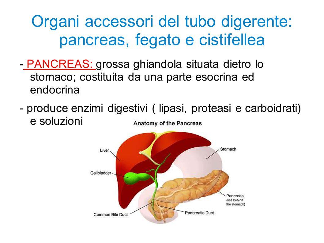 Organi accessori del tubo digerente: pancreas, fegato e cistifellea - PANCREAS: grossa ghiandola situata dietro lo stomaco; costituita da una parte es