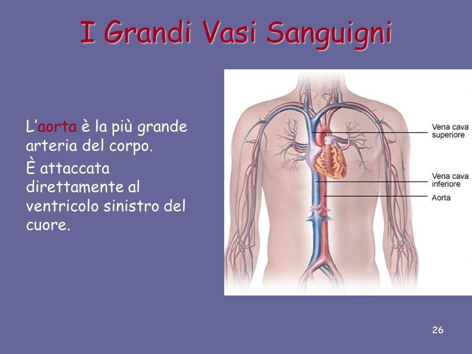 I Grandi Vasi Sanguigni Le due vene più grandi dell'organismo sono la vena cava inferiore e la vena cava superiore. Queste due vene svuotano il sangue