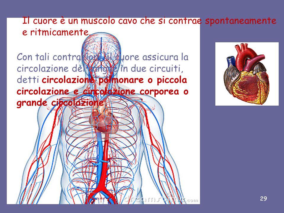 Il suo volume corrisponde al pugno chiuso della persona stessa; nell'adulto pesa 200-300 grammi. È il muscolo più efficiente del nostro corpo rifornis