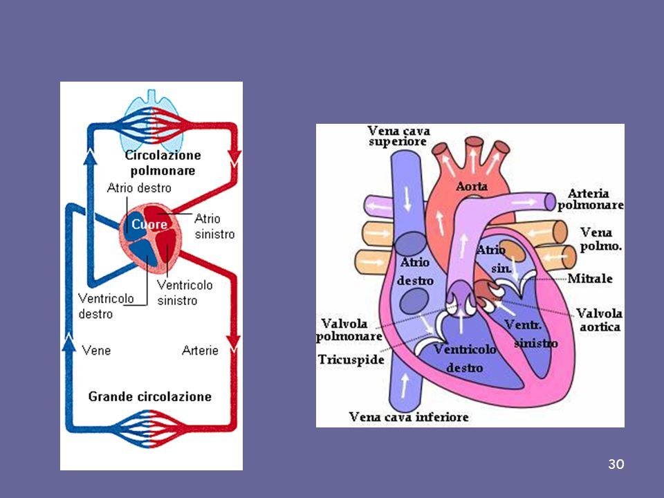 Il cuore è un muscolo cavo che si contrae spontaneamente e ritmicamente. Con tali contrazioni, il cuore assicura la circolazione del sangue in due cir