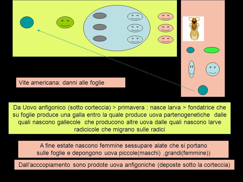 Da Uovo anfigonico (sotto corteccia) > primavera : nasce larva > fondatrice che su foglie produce una galla entro la quale produce uova partenogenetic