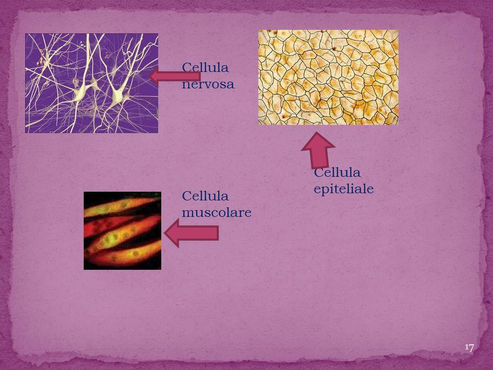 Cellula nervosa Cellula muscolare Cellula epiteliale 17