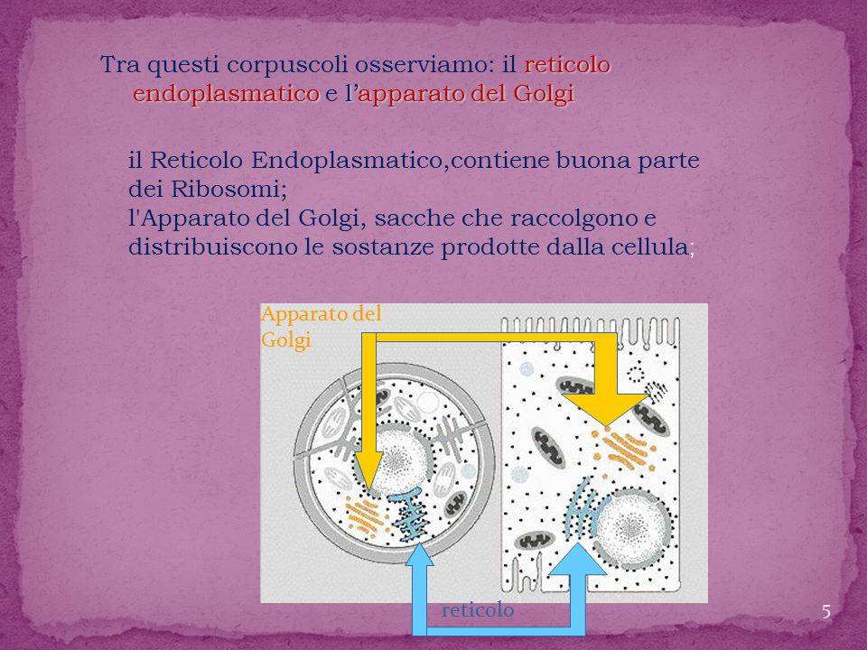 reticolo endoplasmatico l'apparato del Golgi Tra questi corpuscoli osserviamo: il reticolo endoplasmatico e l'apparato del Golgi reticolo Apparato del Golgi il Reticolo Endoplasmatico,contiene buona parte dei Ribosomi; l Apparato del Golgi, sacche che raccolgono e distribuiscono le sostanze prodotte dalla cellula ; 5
