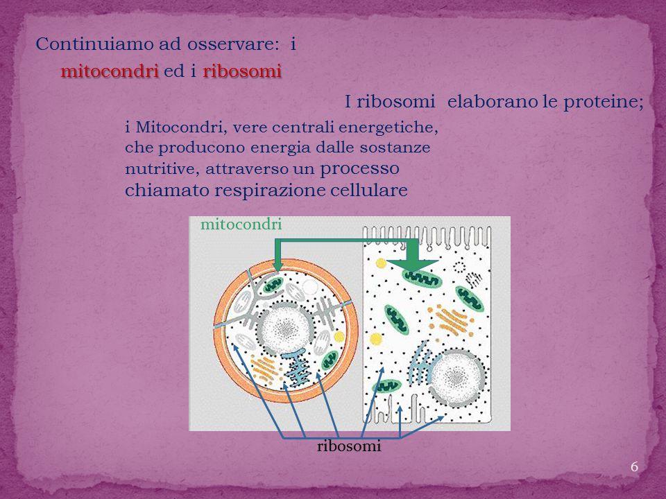 lisosomi cloroplasti Continuiamo ad osservare: i lisosomi ed i cloroplasti presenti, questi ultimi, solo nelle cellule vegetati.