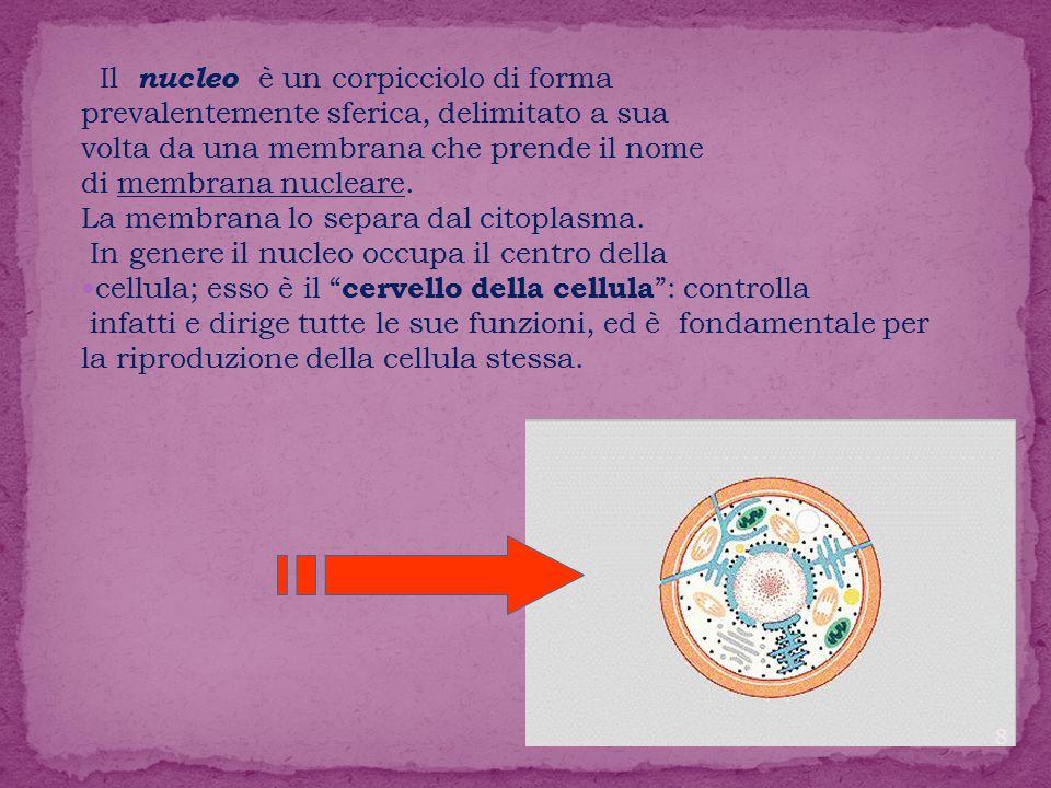 Il nucleo è un corpicciolo di forma prevalentemente sferica, delimitato a sua volta da una membrana che prende il nome di membrana nucleare.