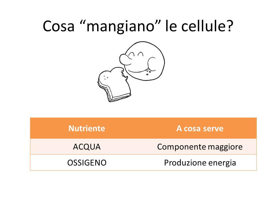 """Cosa """"mangiano"""" le cellule? NutrienteA cosa serve ACQUAComponente maggiore OSSIGENOProduzione energia"""