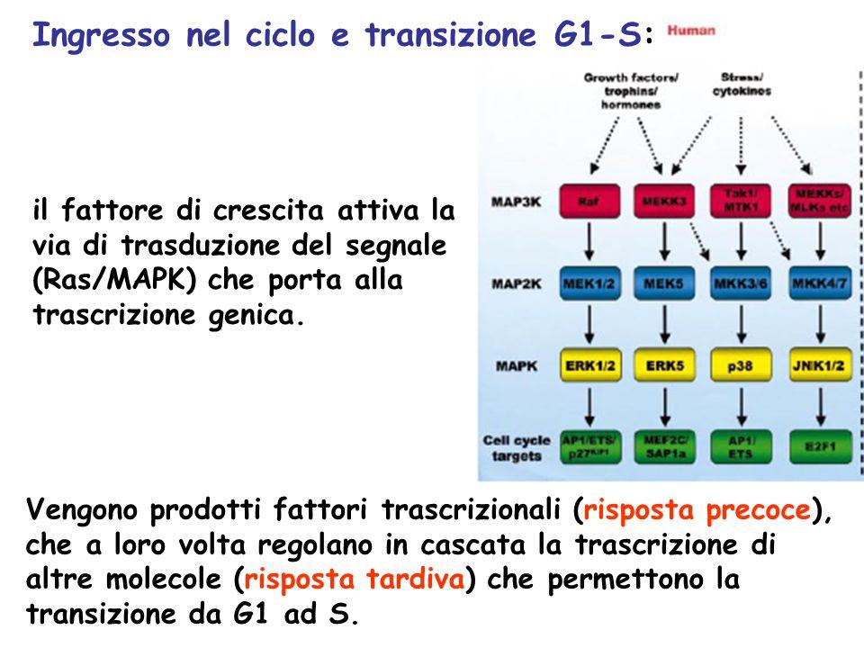 il fattore di crescita attiva la via di trasduzione del segnale (Ras/MAPK) che porta alla trascrizione genica. Vengono prodotti fattori trascrizionali