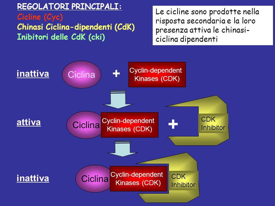 Cyclin-dependent Kinases (CDK) + Ciclina inattiva Ciclina Cyclin-dependent Kinases (CDK) attiva CDK Inhibitor Ciclina Cyclin-dependent Kinases (CDK) i