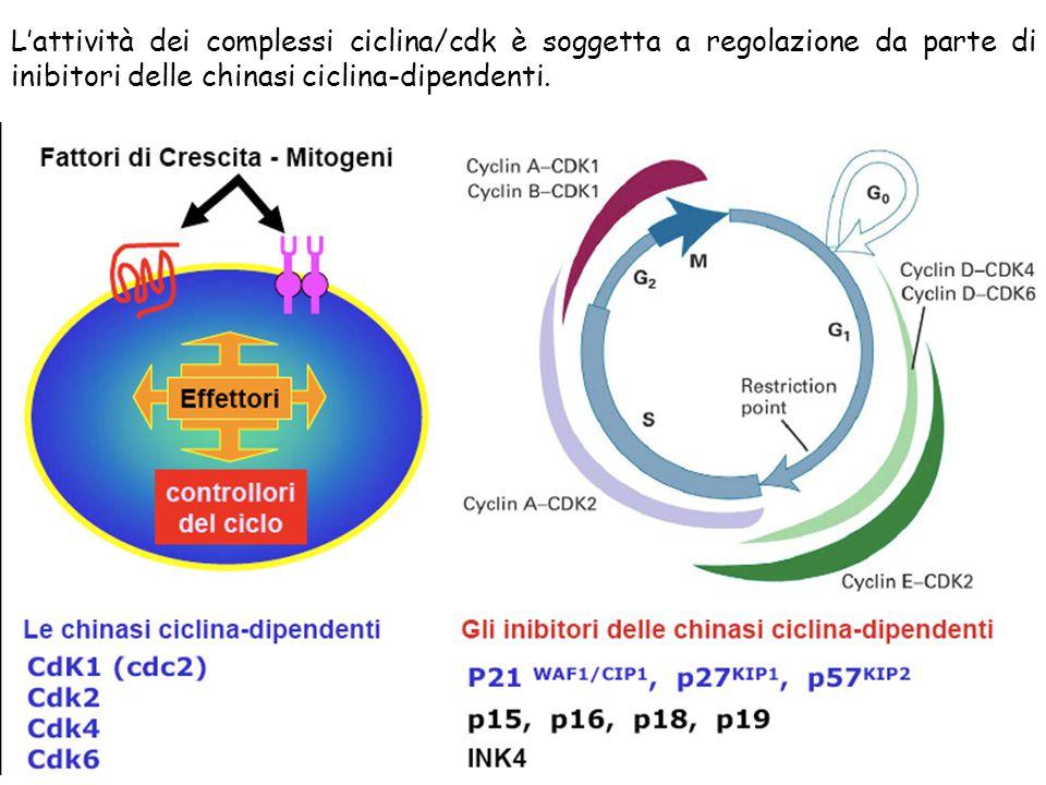 L'attività dei complessi ciclina/cdk è soggetta a regolazione da parte di inibitori delle chinasi ciclina-dipendenti.