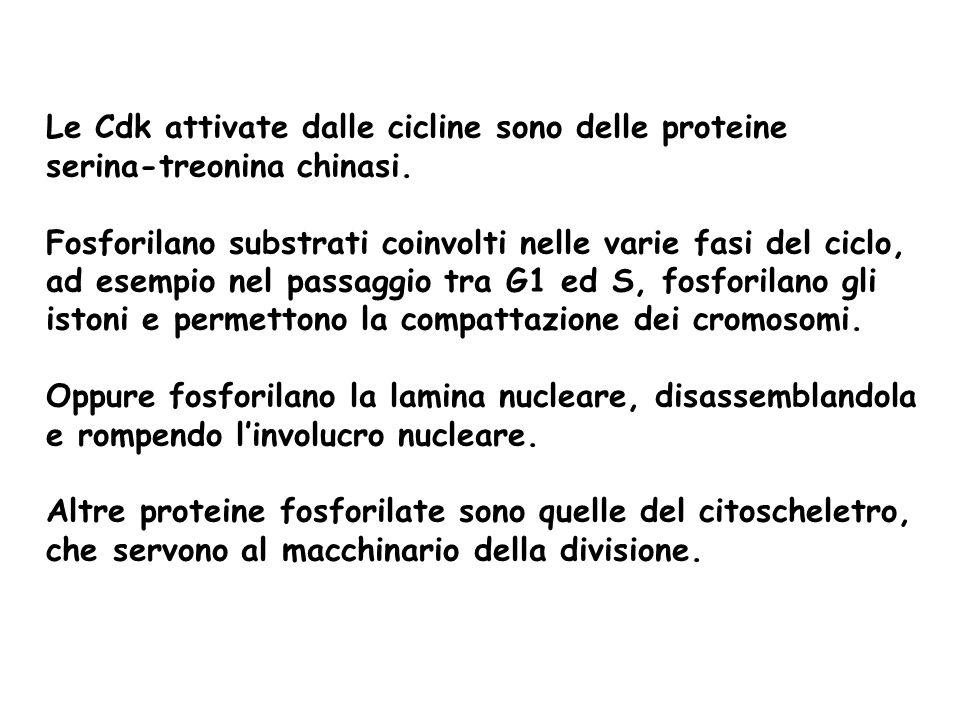 Le Cdk attivate dalle cicline sono delle proteine serina-treonina chinasi. Fosforilano substrati coinvolti nelle varie fasi del ciclo, ad esempio nel