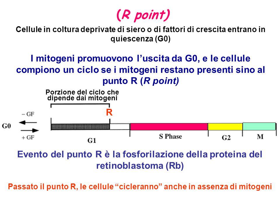 Cellule in coltura deprivate di siero o di fattori di crescita entrano in quiescenza (G0) I mitogeni promuovono l'uscita da G0, e le cellule compiono un ciclo se i mitogeni restano presenti sino al punto R (R point) Evento del punto R è la fosforilazione della proteina del retinoblastoma (Rb) Passato il punto R, le cellule cicleranno anche in assenza di mitogeni R Porzione del ciclo che dipende dai mitogeni (R point)