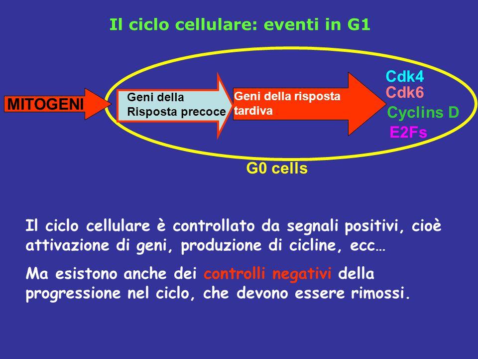 Il ciclo cellulare è controllato da segnali positivi, cioè attivazione di geni, produzione di cicline, ecc… Ma esistono anche dei controlli negativi della progressione nel ciclo, che devono essere rimossi.