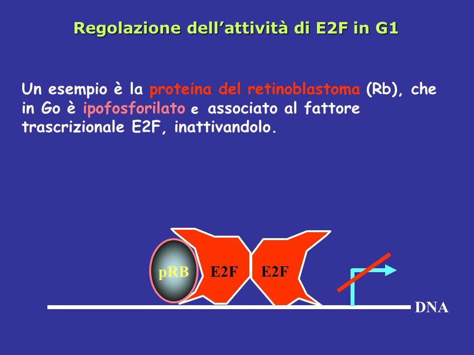 Regolazione dell'attività di E2F in G1 DNA pRB E2F Un esempio è la proteina del retinoblastoma (Rb), che in Go è ipofosforilato e associato al fattore trascrizionale E2F, inattivandolo.