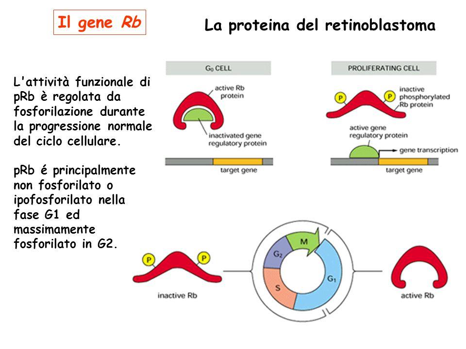 La proteina del retinoblastoma L'attività funzionale di pRb è regolata da fosforilazione durante la progressione normale del ciclo cellulare. pRb é pr