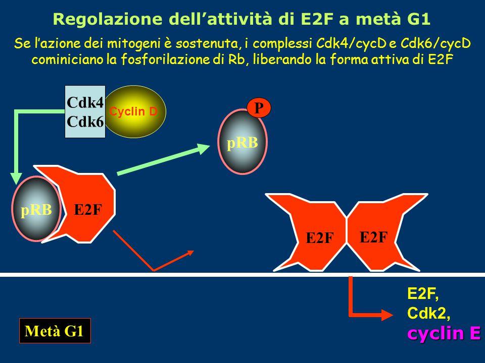 Se l'azione dei mitogeni è sostenuta, i complessi Cdk4/cycD e Cdk6/cycD cominiciano la fosforilazione di Rb, liberando la forma attiva di E2F Metà G1 pRB E2F Cyclin D Cdk4 Cdk6 pRB P E2F E2F, Cdk2, cyclin E Regolazione dell'attività di E2F a metà G1