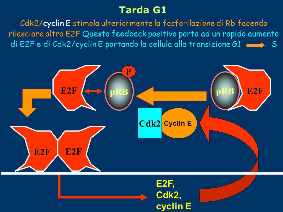 Cyclin E Cdk2 E2F E2F, Cdk2, cyclin E pRB P E2F Cdk2/cyclin E stimola ulteriormente la fosforilazione di Rb facendo rilasciare altro E2F Questo feedback positivo porta ad un rapido aumento di E2F e di Cdk2/cyclin E portando la cellula alla transizione G1 S Tarda G1