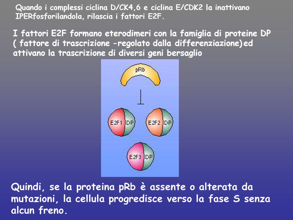 Quando i complessi ciclina D/CK4,6 e ciclina E/CDK2 la inattivano IPERfosforilandola, rilascia i fattori E2F. Quindi, se la proteina pRb è assente o a