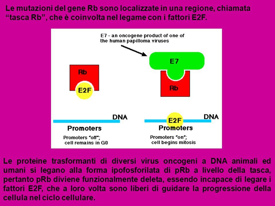 """Le mutazioni del gene Rb sono localizzate in una regione, chiamata """"tasca Rb"""", che è coinvolta nel legame con i fattori E2F. Le proteine trasformanti"""