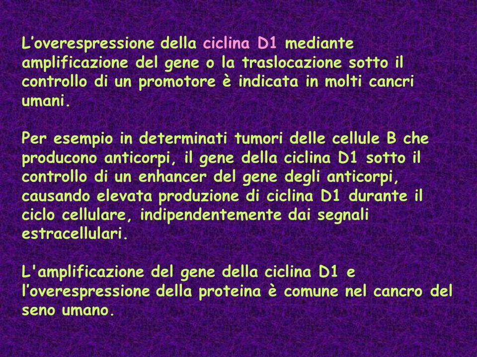 L'overespressione della ciclina D1 mediante amplificazione del gene o la traslocazione sotto il controllo di un promotore è indicata in molti cancri u